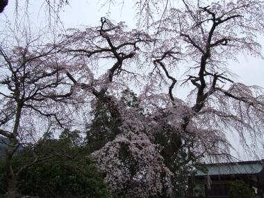 鏡圓坊の桜3.jpg