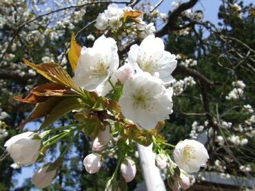 虎の尾桜3.jpg