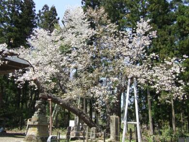 虎の尾桜1.jpg