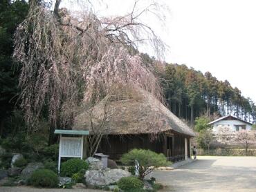 高麗神ミ桜1.jpg