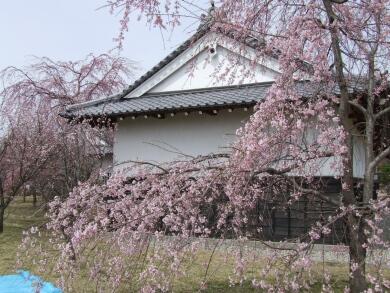 小峰城の桜3.jpg