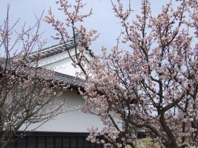 小峰城の桜4.jpg