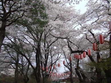 沼田城桜2.jpg
