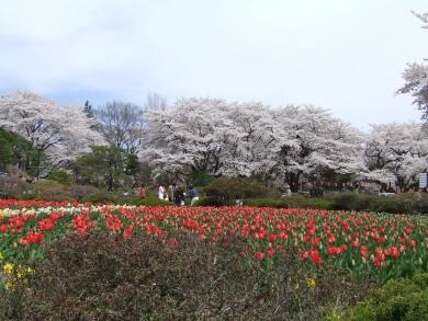 沼田城桜3.jpg