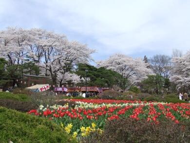 沼田城桜4.jpg