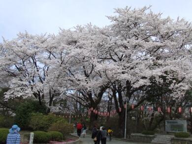 沼田城桜1.jpg