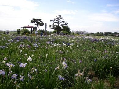 菖蒲城址のあやめ園3.jpg