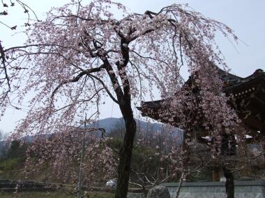 上沢寺の桜1.jpg