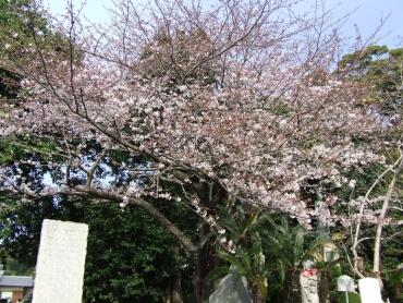 清見寺の桜1.jpg