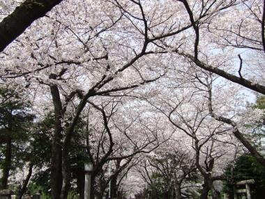 青山霊園の桜2.jpg