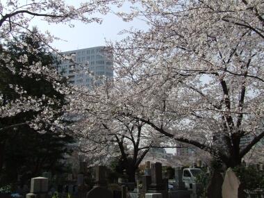 青山霊園の桜3.jpg