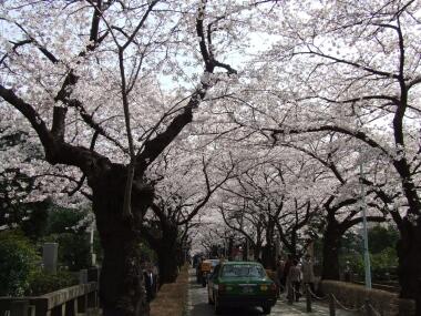 青山霊園の桜1.jpg