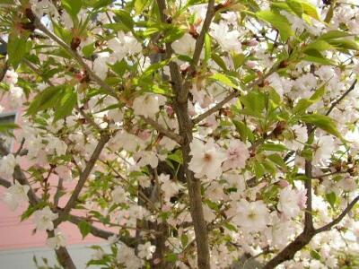 静桜.jpg