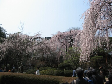 川越中院の桜2.jpg
