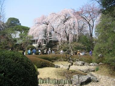 川越中院の桜3.jpg
