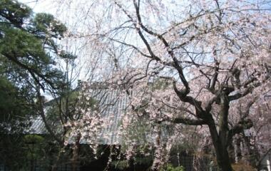 川越中院の桜4.jpg