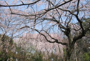 川越中院の桜1.jpg
