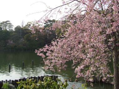 洗足池の桜2.jpg