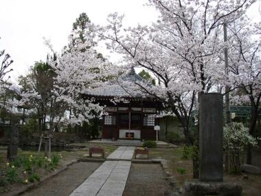 信濃国分寺の桜2.jpg