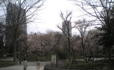 新宿中央公園の桜3.jpg