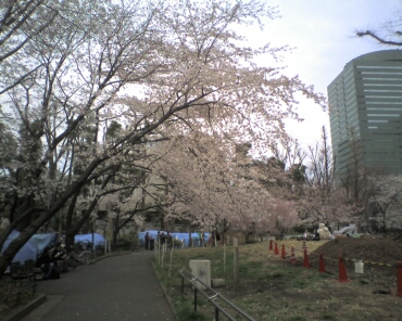 新宿中央公園の桜1.jpg
