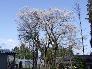 草岡の大明神桜.jpg