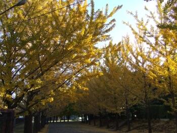 東洋大学川越キャンバスの紅葉1.jpg