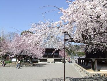 道成寺桜2.jpg