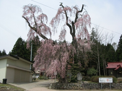 白兎神ミの枝垂れ桜.jpg