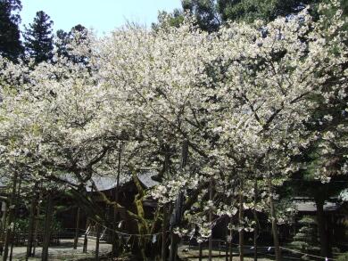 薄墨桜2.jpg