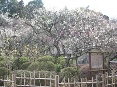 百草園の梅1.jpg