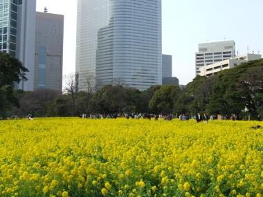 浜離宮菜の花2.jpg
