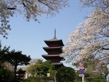 本門寺五重塔と桜.jpg