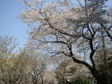 本門寺桜2.jpg