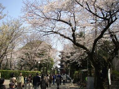 本門寺桜1.jpg