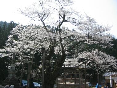 明日の大桜2.jpg