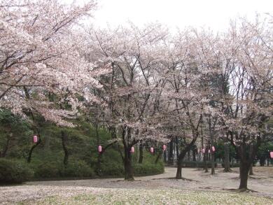 与野公園の桜2.jpg