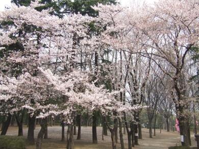 与野公園の桜1.jpg