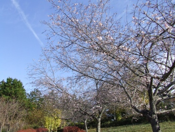 羊山公園冬桜2.jpg