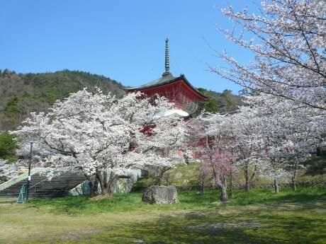 雲上殿の桜1.jpg