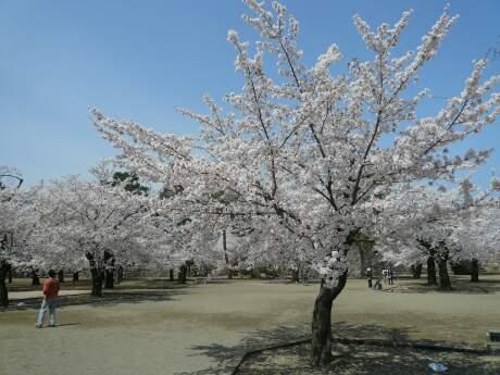 海津城の桜1.jpg