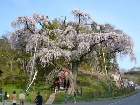 紅枝垂地蔵桜1.jpg