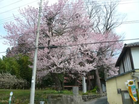 桜森のヒガンザクラ1.jpg