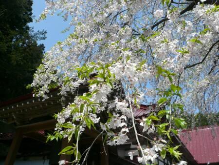 慈徳寺の種蒔き桜3.jpg