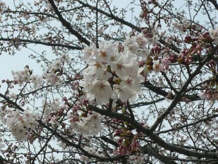 宗吾霊堂の桜1.jpg