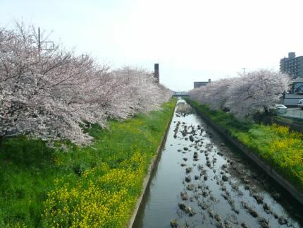新河岸川の桜2.jpg