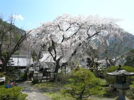 西楽寺の枝垂れ桜1.jpg