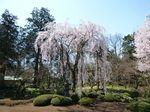徳川家光手植えの桜.jpg