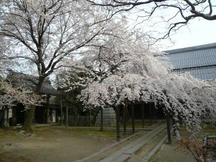 長誓寺の枝垂れ桜.jpg