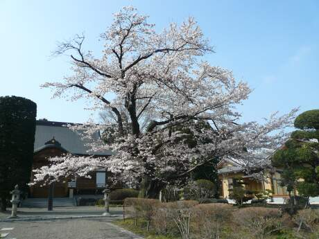 不動寺の桜1.jpg
